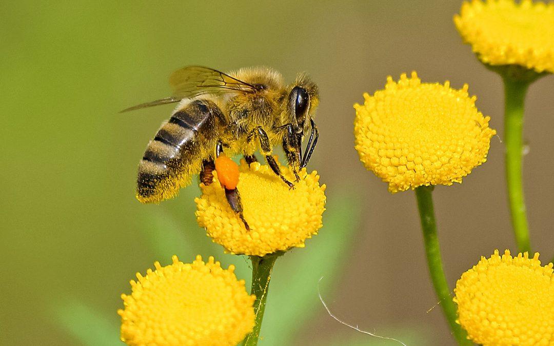 Bijen in de tuin: herken de verschillende soorten