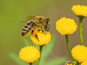 Bijen in de tuin, hoe herken je ze?